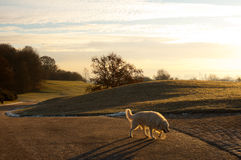 Labrador on early morning walk. A labrador dog walks in the cold early morning in Munich, Germany Stock Images