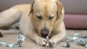 Labrador eating dollar banknotes on floor closeup, pet behavior problem, credit. Stock footage stock video footage