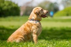 Labrador in einem Regenbogenkragen, der in einem Park sitzt lizenzfreie stockfotos