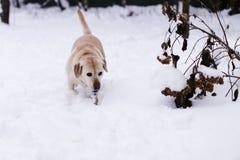 Labrador en el parque foto de archivo