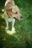 Labrador en el parque fotos de archivo libres de regalías