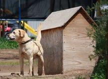 Labrador en encadenamiento Foto de archivo