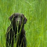 Labrador en hierba Imágenes de archivo libres de regalías