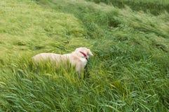 Labrador en hierba Fotos de archivo libres de regalías