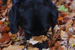 Labrador en hoja en viaje imagenes de archivo