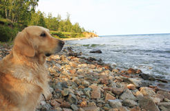 Labrador en la orilla de Baikal Imagen de archivo