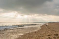 Labrador en la playa Fotos de archivo libres de regalías