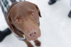 Labrador en nieve Imagenes de archivo