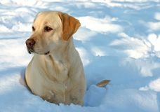 Labrador en Sneeuw royalty-vrije stock afbeelding