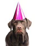 Labrador en sombrero del partido fotografía de archivo libre de regalías