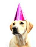 Labrador en sombrero del partido fotografía de archivo
