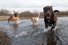 Labrador en vrienden Stock Fotografie