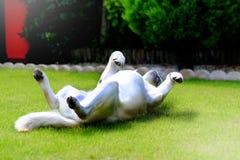 Labrador enjoying sunshine. Labrador is rolling on the grass enjoying the sunshine Stock Images
