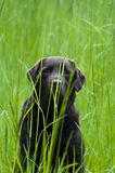 Labrador escondendo Fotos de Stock Royalty Free