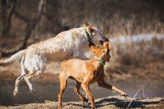 Labrador et ridgeback image libre de droits