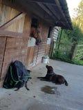 Labrador et son ami Photographie stock libre de droits