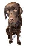 Labrador Eyed triste Fotografía de archivo