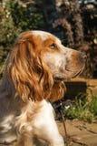 labrador för bakgrundshundjakt vit yellow Royaltyfri Foto