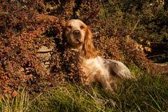 labrador för bakgrundshundjakt vit yellow Royaltyfria Bilder
