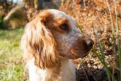 labrador för bakgrundshundjakt vit yellow Royaltyfri Bild