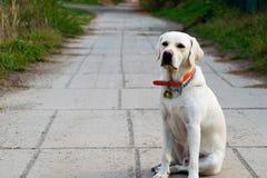 Labrador för golden retriever x arkivbilder