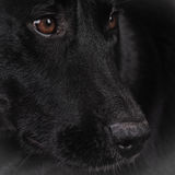 Labrador för svart hund 164 blandad avel Arkivbilder