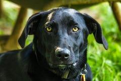 labrador för svart hund retriever Arkivfoton