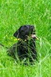 labrador för svart hund retriever Royaltyfri Foto