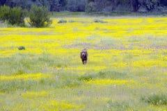 Labrador förföljer Arkivfoto