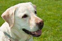 Labrador förföljer ståenden Fotografering för Bildbyråer