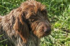 labrador f?r bakgrundshundjakt vit yellow Drathaar En brun hund, en jaga hund ?r ett drathaar Brun vuxen hund med ledsna ?gon arkivbilder
