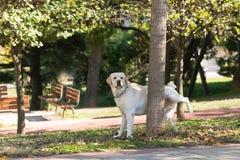 Labrador faisant pipi à un arbre en parc Image stock