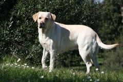 Labrador femelle - 02 extérieurs images libres de droits