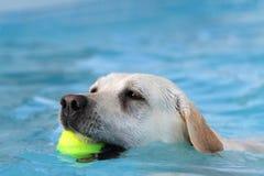 Labrador femenino du recovery en una piscina de la bola Imagen de archivo
