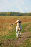 Labrador with big stick in the mouth Royalty Free Stock Photography