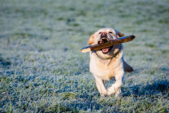 Labrador fetching Stock Photos
