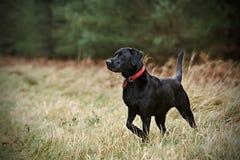 Labrador fier dans la campagne Photos stock
