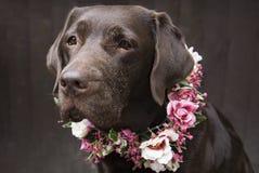 Labrador in flower crown collar Stock Image