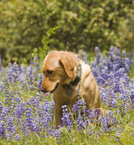 Labrador in the flowers. Female Labrador sitting in the wildlflowers obeying the stay command stock photos