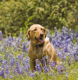 Labrador in the flowers. Female Labrador sitting in the wildlflowers obeying the stay command stock images