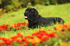 Labrador in flowers Stock Photo