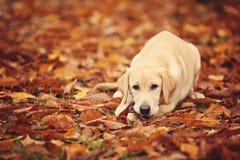 Labrador in foglie di autunno Immagine Stock