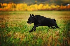 Labrador fonctionnant Photographie stock