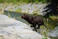 Labrador fonctionnant Photos stock