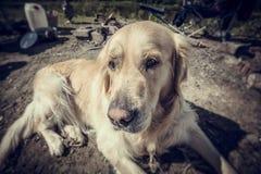 Labrador fora Fotografia de Stock Royalty Free