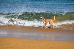 Labrador in front of a big wave on the sandy beach Stock Photos