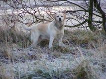 Labrador, frosty morning. Female labrador on a frosty morning Royalty Free Stock Image