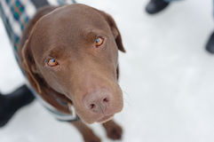 Labrador in the Snow with Faithful Eyes Stock Images