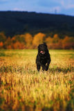 Labrador funzionante Fotografia Stock