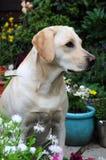 Labrador in the garden Royalty Free Stock Photography